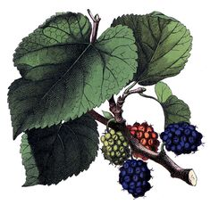 Antique Image - Beautiful Mulberries - Botanical - The Graphics Fairy