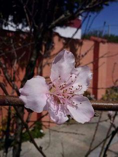Flor del melocotonero....