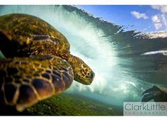The underwater photographs of surfer-turned-photographer Clark Little offer an amazing view into the secret life of the also endangered Hawaiian green sea turtle.
