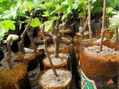 Выращивание винограда из черенков, укоренение и высадка в грунт