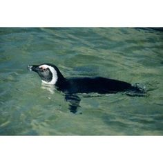 African Penguin swimming Cape Peninsula South Africa Canvas Art - Kevin Schafer DanitaDelimont (36 x 24)