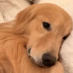 Enjoy new funniest and very cute compilation of the week about try not laugh funny animals' life video. Dogs are awesome animals. Super Cute Puppies, Cute Baby Dogs, Cute Dogs And Puppies, I Love Dogs, Doggies, Big Dogs, Chien Golden Retriever, Golden Retrievers, Photo Chat