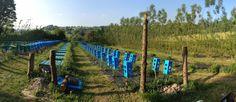 Auf der Full Grown Möbelfarm wachsen Stühle und Tische an Rebstöcken…