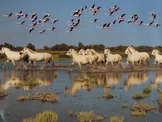 the Flamingos and horses from Camargue France @eleanorvalentin - Please tell me once I am there I never have to keave <3
