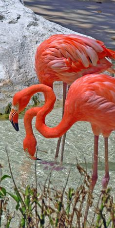 Beauty in pink #Xcaret #Flamingo