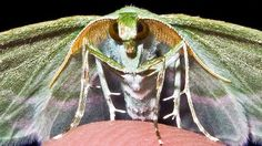 Vibrant: This Showy Emerald moth lives up to its name, showing off its jewel-coloured wings for the camera Moth Caterpillar, Super Natural, North America, Insects, Beautiful Pictures, Wings, Creatures, Butterfly, The Incredibles