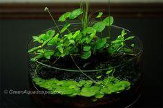 Wabi - kusa I - Plant Physiology & Emersed Culture - Aquatic Plant Central