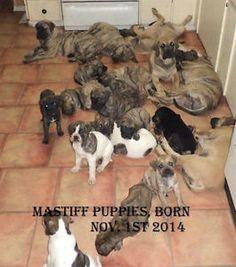 Pure Breed - Mastiff - Bull Mastiff, Puppy's for sale Regina Regina Area image 1