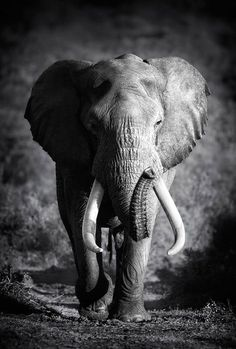 This Elephant Bull Animal Canvas Wall Art giclee print is created using fade resistant inks and gallery-wrapped giving it a museum quality finish. Elephant Love, Elephant Art, African Elephant, Elephant Poster, White Elephant, Elephant Photography, Wildlife Photography, Animal Photography