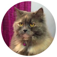 Coco Doll Face Persian Cat