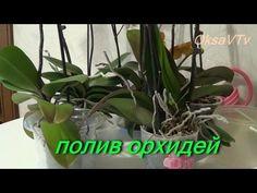 полив орхидеи, как поливать орхидеи Phalaenopsis. how to water orchids Phalaenopsis - YouTube