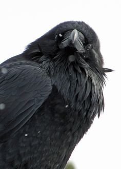 """{Winter Raven Portrait} by {David W M M} """"…But the raven, sitting lonely on the placid bust, spoke only, That one word, as if his soul in that one word he did outpour. Nothing further then he uttered. Quoth The Raven, Raven Bird, Crow Art, Bird Art, Beautiful Birds, Animals Beautiful, Animals And Pets, Cute Animals, Foto Portrait"""