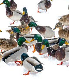 Norwegian mallards in Hamar. Mallard, Birds, Winter, Animals, Instagram, Winter Time, Animales, Animaux, Bird