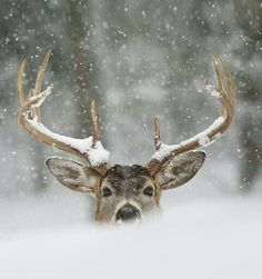 Deer in the snow #Antlers