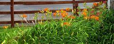 Margaret's front garden tiger lilies in bloom