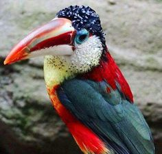 Curl-crested Aracari. Those colors are incredible!