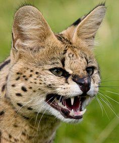Serval by Brian Scott - Photo 1678661 - 500px