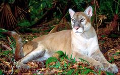 Florida State Animal Panther | Florida Panther Fights for Survival Again–This Time in Washington D ...