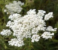 How to Grow and the Benefits of Queen Anne's Lace  http://makinbacon.hubpages.com/hub/queenanneslacebenefitsuseshowtogrow