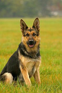 Deutscher Schaeferhund   Tolle Photos unseren besten Freunden! Hier noch ein Tip: http://besteversicherungenonline.de/hundever