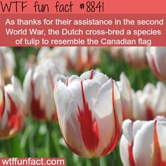 This tulip resembles the Canadian flag - WTF fun facts