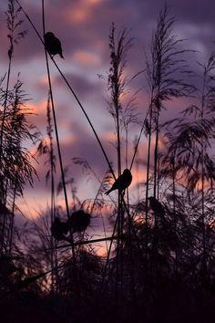 Sunset, river grass and little birds