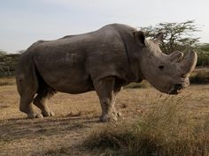 "The world's last male northern white rhino, Sudan, has died after ""age-related complications"" in Kenya, conservationists looking after his care have announced.  A statement from the Ol Pejeta Conservancy where Sudan lived said the 45-year-old rhino, who was suffering from muscle and bone deterioration and extensive skin wounds, was euthanised on Monday after his condition ""worsened significantly"", leaving him unable to stand."