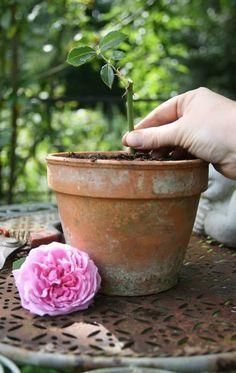 Les rosiers se multiplient facilement par bouturage. Pour savoir quand et comment procéder, suivez les conseils de nos experts jardin.
