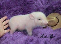 Teacup pigs for saleteacup pigultra nano pigspiglets for sale teacup pigs for saleteacup pigultra nano pigspiglets for saleteacup piggiespocket pigsdandee pigs voltagebd Gallery
