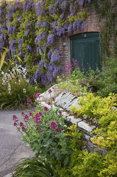 Wisteria in flower on the Entrance Walk at Trelissick Garden, Cornwall, in May