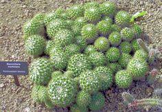 Mammillaria marksiana. Westsern Mexico native. Ball/clumping shape.