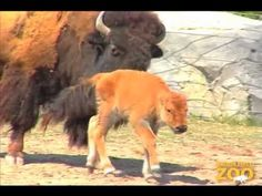 Bison Calf Born at Brookfield Zoo