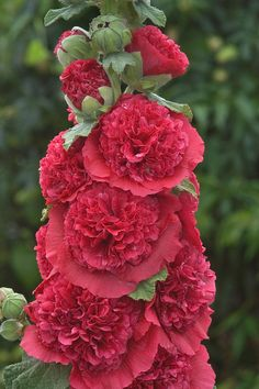 Double Hollyhock ~~ Alcea rosea