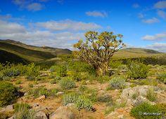Aloe ramosissima (Maiden's Quiver Tree)