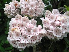 Mountain laurel- as the flower opens, each pocket holds to the anthers, and when a bee disrupts the pocket, the anthers bash the insect with pollen Miniature Pigs, Toxic Foods, Mini Pigs, Shrubs, Roots, Backyard, Flowers, Plants, Mountain