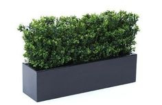 Boxwood Bush In Fibreglass Trough Planter. Windowbox planter with box hedge. Perfect for windows and balconies. They look great with the Victorian style London town houses.
