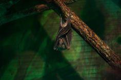 Megabat or fruit bat, Aschersleben Zoo
