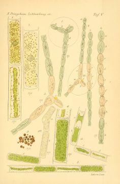 Untersuchungen über lichtwirkung und chlorophyll function in der pflanzen ... - Biodiversity Heritage Library