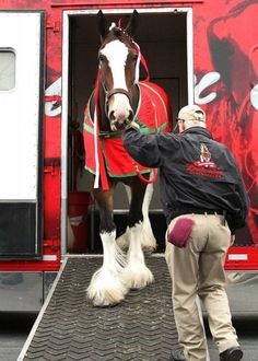 The Budweiser Clydesdales arrive at Keeneland today. They are GORGEOUS Clysdale Horses, Draft Horses, Show Horses, Breyer Horses, All The Pretty Horses, Beautiful Horses, Animals Beautiful, Cute Animals, Beautiful Creatures