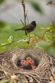 mother junco protects her young