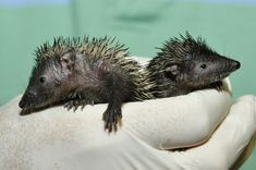two baby Lesser Hedgehog Tenrecs. While they might look like hedgehogs, and even have hedgehog in their name, they are actually a totally different family of mammals. Tenrec species come in a wide variety of shapes and sizes, with some looking like hedgehogs, some like mice, and some even like otters!