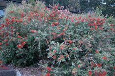grevillea burgundy blaze - Google Search Native Plants, Burgundy, Google Search, Garden, Flowers, Garten, Lawn And Garden, Gardens, Wine Red Hair