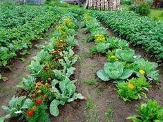 Raised Vegetable Gardens, Veg Garden, Garden Plants, Kinds Of Vegetables, Growing Vegetables, Growing Plants, Farm Gardens, Outdoor Gardens, Bee Friendly Plants