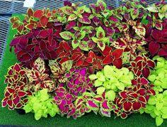 colourful coleus combo