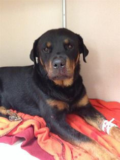 Found Dog - Rottweiler - Denton, TX, United States 76210 on June 14, 2014 (23:45 PM)