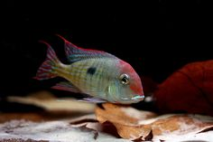 "Geophagus sp. ""Araguaia Orange Head"" 