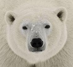 Polar bear by Sergey Ivanov - Photo 21512071 - 500px