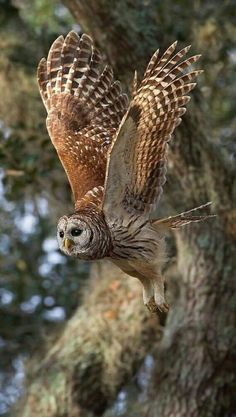 Birds of Prey - Barred owl in flight. - Birds of Prey – Barred owl in flight. Owl Photos, Owl Pictures, Beautiful Owl, Animals Beautiful, Owl Bird, Pet Birds, Types Of Eagles, Photo Animaliere, Barred Owl