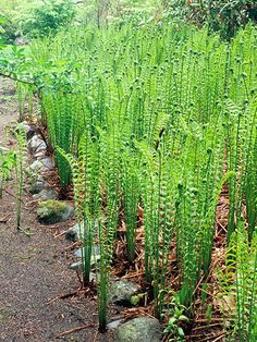 Ostrich Fern is a tough perennial that loves moist, shady spots. Try more of our favorite flowers for wet soil: http://www.bhg.com/gardening/flowers/perennials/flowers-for-wet-soil/?socsrc=bhgpin061614ostrichfernpage=10