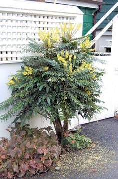 Mahonia 'Charity' is a tall evergreen shade-tolerant shrub which bears long yellow flowering stems from January. Just what early insects need. Garden Shrubs, Shade Garden, Organic Gardening Tips, Vegetable Gardening, Evergreen Shrubs, Easy Garden, Garden Ideas, Shade Plants, Back Gardens